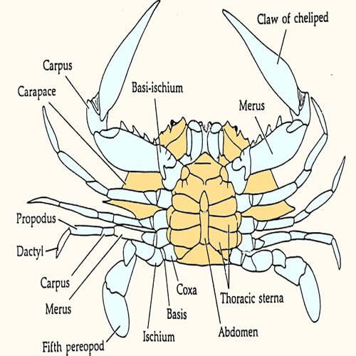 crab diagramCrab Diagram